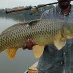Umpan Mancing Ikan Mas Sederhana