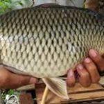 Umpan Galatama Ikan Mas Segala Cuaca