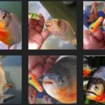 Umpan Jitu Ikan Bawal Malam vs Siang Hari