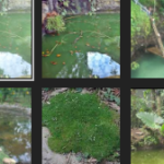 Umpan Ikan Mas Empang Air Hijau Paling Galak