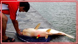 Mancing Ikan Baung Terbesar di Sungai, Danau dan Rawa