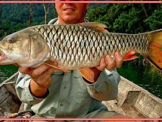 Umpan Mancing Ikan Tombro di Waduk dan Sungai