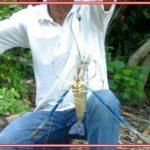 Cara Mancing Udang Galah Air Tawar