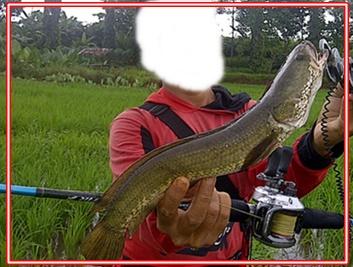 Umpan Ikan Gabus Paling Ampuh Sudah Terbukti