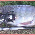 Umpan Ikan Mujair di Empang Alami Namun Galak