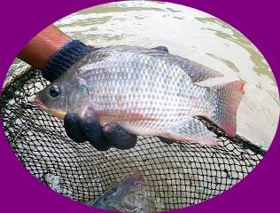 Umpan Mancing Ikan Mujair di Rawa Supaya Mendapat Banyak