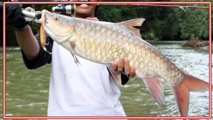 Mancing Ikan Tombro Besar Tips dan Umpan Terbaik