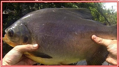 Essen Yang Cocok Untuk Ikan Bawal di Segala Lokasi