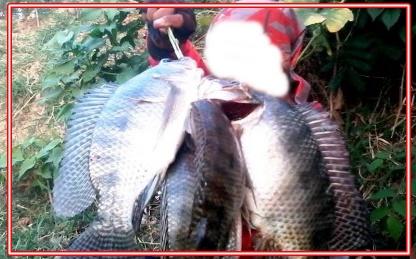 Cara Mancing Ikan Mujair Besar Gunakan Umpan Ini