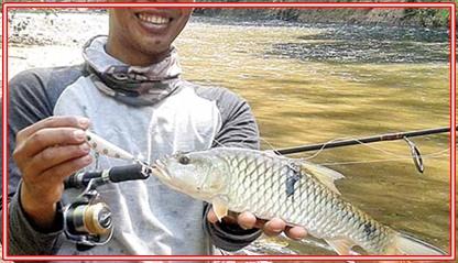Umpan Alami Ikan Tombro di Sungai, Rawa, dan Danau