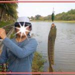 Cara Mancing Casting Ikan Gabus Paling Menantang