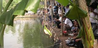 Umpan Mancing Ikan Mas Lomba