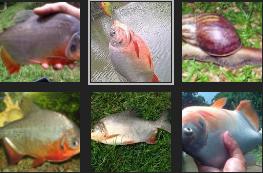 Umpan Jitu Ikan Bawal Empang Harian