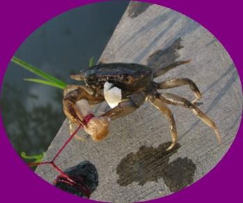 Cara Mancing Kepiting Rajungan