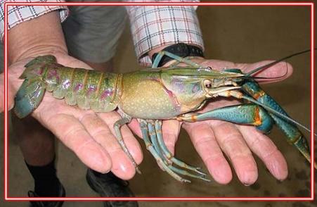 Cara Mancing Udang Lobster Laut Paling Mudah Hasil Melimpah