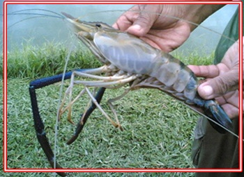 Umpan Mancing Udang Lobster Air Tawar Supaya Dapat Banyak